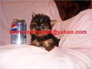 Cute Looking Male And Female Teacup Yorkie Puppies