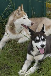 husky and malamute for sale