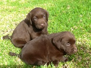Chocolate labrador puppies for sale in Toowoomba