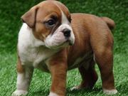 Tamed English Bulldog Puppies For Rhoming