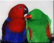 Funniest Solomon Eclectus parrot babies $120