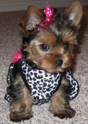 T Yorkie Puppies For Free Adoption