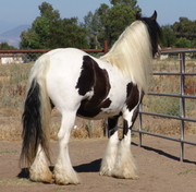 (Harriet)15.3hh Gypsy Vanner Mare for Adoption