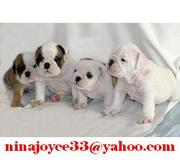 Almost free Lovely AKC English bulldog puppies available for Adoption