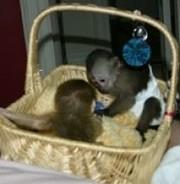 Baby Capuchin monkeys