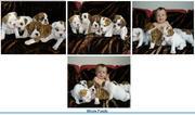I have 3 beautiful English bulldog puppies Fee For Adoption