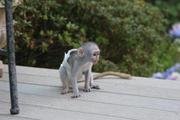 Capuchin and Marmoset monkeys for new home