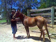 Pony Chestnut mare for sale 5yr old