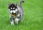 Lovely Male and Female Siberian Husky Puppies Puppies for adoption