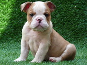 Precious English Bulldog Puppies For Sale